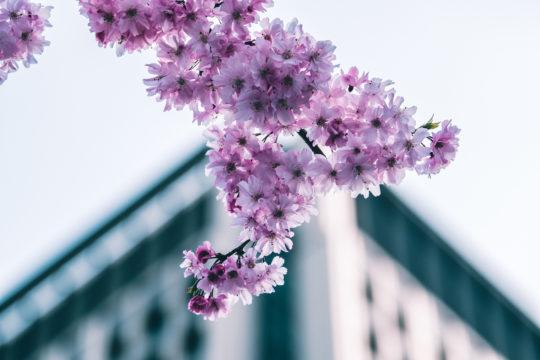 blossoms-of-japan-PNQAEHT